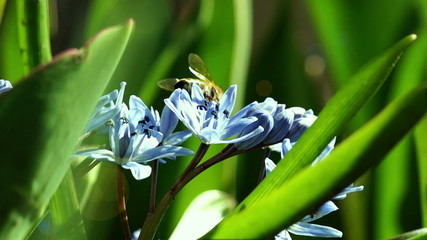Several Bees Pollinate Spring Young Flowers. Macro Shooting.
