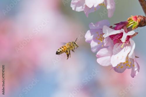 Leinwanddruck Bild Cherry Blossom and Honeybee