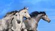 Three horse portrait in motion