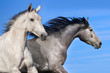 Couple of horse run