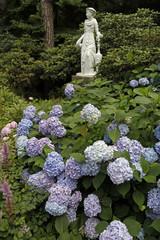 Gartengestaltung mit blauen Hortensien