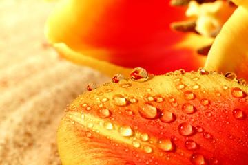 Krople wody na tulipanie.