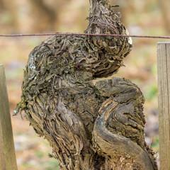 vieille vigne