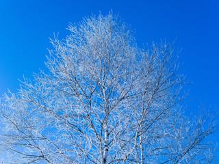 青空と白い木