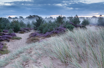 sand dune and flowering heather in morning