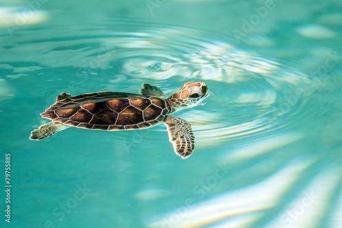 Cute endangered baby turtle - 79755885