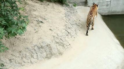 Tiger walks the enclosure at Zoo