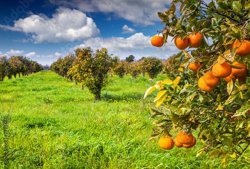 Sunny morning in orange garden in Sicily - 79756611