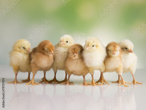 Foto op Canvas Kip Easter chickens
