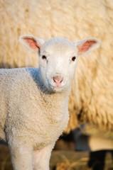 Schafhaltung, junges Lamm im Licht der untergehenden Sonne