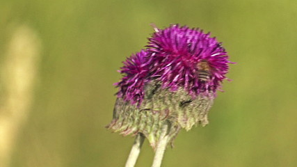Close up of a Thistle flower, Landing honey bee