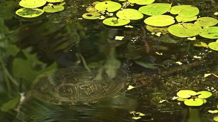 European pond turtle swimming in the water in marsh summer lake