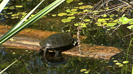 European pond turtle sitting on a trunk tree in water in marsh