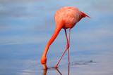 A Drinking Flamingo