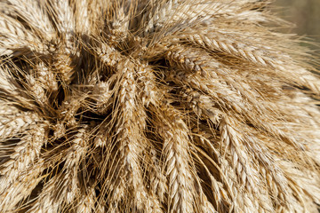 Ears of rye harvested in autumn.