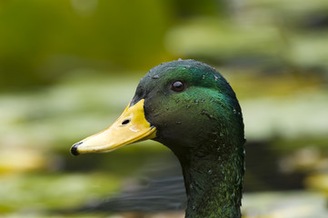 Mallard duck closeup.