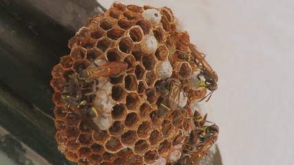 Wasps Feeding Larvae In Hive