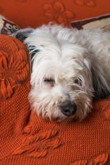 Lagotto romagnolo bianco accovacciato sul divano