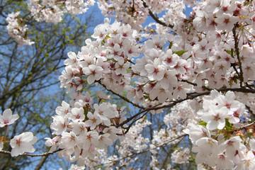 White cherry blossom