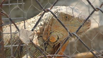 Caged Iguana