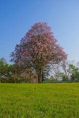 Tabebuia tree and grass