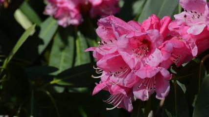 Rosa Rhododendron rechte Bildhälfte mit Biene