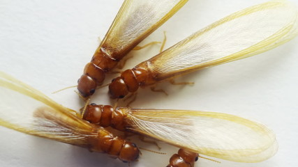 Winged Termite Group Over White
