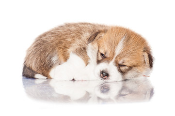 Pembroke welsh corgi puppy sleeping