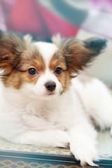 Portrait papillon puppy