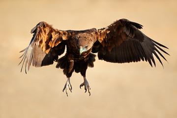 Bateleur eagle in flight