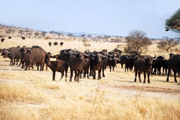 The African Buffalo - Tanzania - Africa