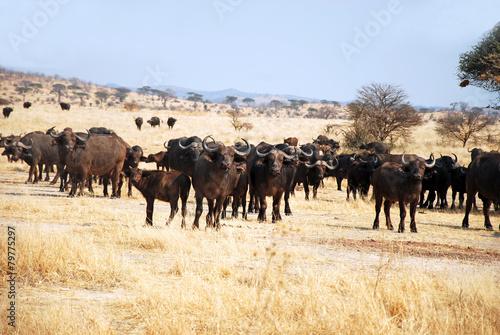 Plexiglas Buffel The African Buffalo - Tanzania - Africa