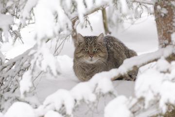 Wildkatze im Versteck