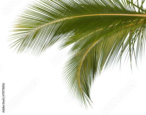 Poster Palm boom palmes de cocotier sur fond blanc