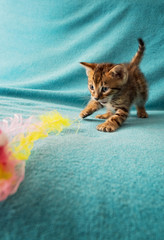 cat Bengal Kitten.