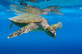 Sea Turtle swimming in Seychelles