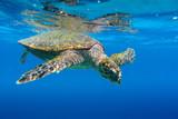 Sea Turtle swimming in Seychelles - 79782812