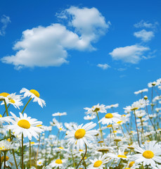 Natural background with daisies and sky with clouds.