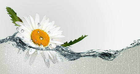 The flower of a camomile on background water spray.