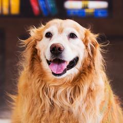 beautiful Golden Retriever dog standing