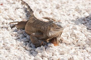 Green Lizard sunning on a rock.