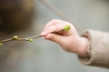 花梨の新芽を摘む子供の手