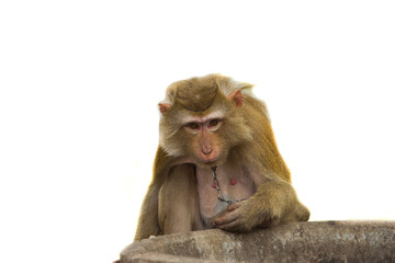 monkey with white backgroung