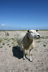sheep walking and grazing at the borders of the wadden sea
