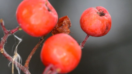 Red fruits of mountain ash