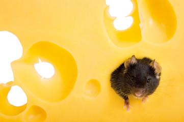Maus im Käse
