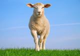 Sheep on seawall