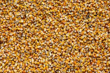 Corn background