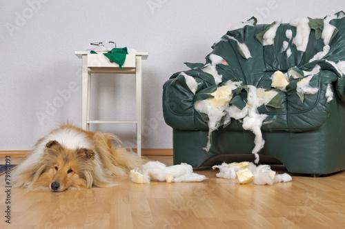 Leinwanddruck Bild Gelangweilter Hund mit zerfetztem Ledersessel