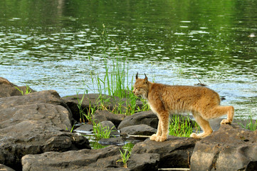 Large Lynx crossing rocks along a river.